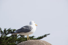 Fearless big bird Seagull Stock Images
