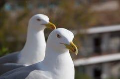 Fearless big bird Seagull Stock Photos
