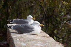 Fearless big bird Seagull Royalty Free Stock Photo