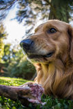Fearless Dog, dangerous eating a Bone. Golden Retriever. Royalty Free Stock Images