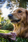 Fearless Dog, dangerous eating a Bone. Golden Retriever. Mad and scary Royalty Free Stock Photography