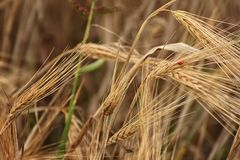 Ladybug walks across wheat upside-down stock photos