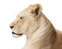 Fearless lioness. Portrait of graceful lioness isolated on white background Stock Photos