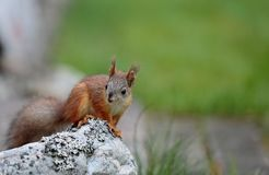 Fearless baby Squirrel standing on stone. Fearless and sweet baby squirrel standing on big grey stone stock photos