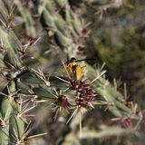 Yellow Wasp on a Cholla Cactus, Second Water Trail, Superstition Mountains, Arizona stock photos
