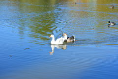 Fearless wild ducks and geese gracefully glide the waters Royalty Free Stock Image