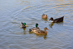 Fearless wild ducks and geese gracefully glide the waters Royalty Free Stock Images