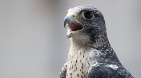 Fearsome Falcon. Disabled falcon stares at the camera wide eyed and open mouthed royalty free stock images