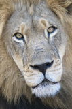 Fearsome glare. A fearsome stare from a male lion Stock Photography