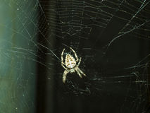 Fearsome spider Araneus Royalty Free Stock Image