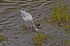 feasing在三文鱼的净化剂鸟 库存图片