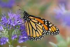 Feast. Monarch butterfly feeding on purple flower royalty free stock images