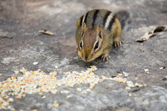 Feast for a Chipmunk. A baby chipmunk sitting on a slab of rock, about to gorge himself on a pile of dried corn Stock Photo