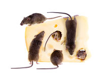 Feast of common house mouse (Mus musculus) on a large piece of c Stock Photos