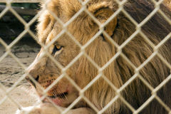 Feast for a King. The king of the jungle lays down with fresh blood on his mouth Royalty Free Stock Photography