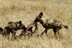 African Wild Dogs on a Kill. African wild dogs stripping an Impala carcass of all the meat Royalty Free Stock Photo
