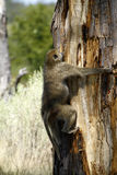 Feasting Baboon. African Baboon showing his climbing skills to feed on honey from the tree stock photos