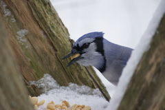 Feasting Blue Jay. Close up of blue jay with peanut in beak between to fence posts, winter background Royalty Free Stock Image