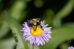 Feasting Bumble Bee Royalty Free Stock Photo