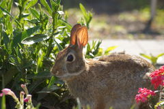 Feasting Bunny Rabbit. Wild bunny rabbit feasting in the flower garden, sunlit ears Stock Photos