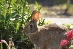 Feasting Bunny Rabbit Stock Photos