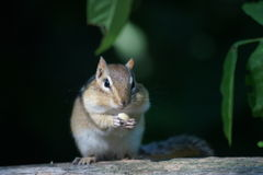 Feasting Chipmunk. Close up of  chipmunk on a fence feasting on a peanut. Leaves in background Royalty Free Stock Photo