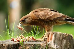 Patagonian Hawk feasting on leftovers. Hawk feeding on scraps of meat in Patagonia, Argentina Royalty Free Stock Image