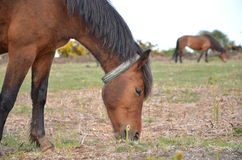Feasting Horses 2 Royalty Free Stock Photos