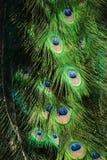 featers peacock Στοκ Εικόνες