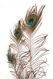 Feathe do pavão Imagem de Stock