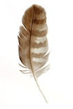 Feather. Buzzard feather - isolated on white background Royalty Free Stock Image