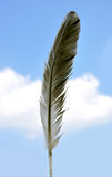 Feather. Hen feather against sky background Royalty Free Stock Images