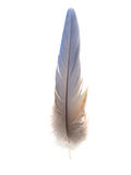 Feather 2. An isolated light blue Macaw Parrot feather on white background Royalty Free Stock Images
