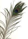 Feather. The shot of peacock feather Royalty Free Stock Photography
