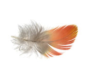 Feather 5. An isolated reddish Macaw Parrot feather on white background Stock Images