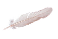 Feather. White feather of chicken isolate on white Stock Image