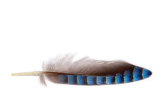 Feather. Cloce up of a grey,black and blue colored feather on a white background Royalty Free Stock Photos