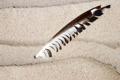 Feather. Sea gull feather sticked in the wet sand Stock Photo