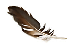 Feather. Hawk feather isolated on white Royalty Free Stock Photography