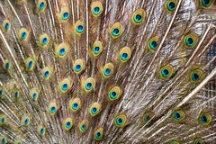 Feather background. Peacock feather background with beautiful colors Stock Photo