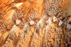 Feather of Barn Owl. (Tyto alba Stock Photos