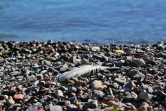 Feather on the Beach. Feather on pebbles next to the sea Royalty Free Stock Photography