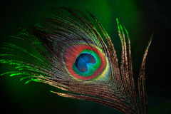 Feather. Beautiful peacock feather close-up on a dark background Royalty Free Stock Photo