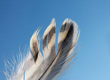 Feather of a bird against  blue sky Royalty Free Stock Image