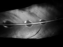 Feather of a bird in droplets on black and white stock photography