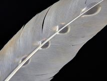 Feather of a bird in droplets of water on a dark background stock photo