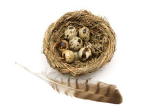Feather of a bird and eggs in a nest isolated on a white backgro Royalty Free Stock Image