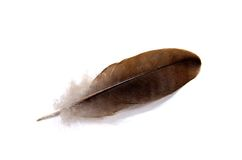 Feather of a bird isolated Royalty Free Stock Image