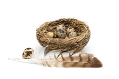 Feather of a bird and quail eggs in a nest on a white background Stock Photo