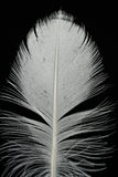 Feather on black. Close-up of white feather on black Royalty Free Stock Photography